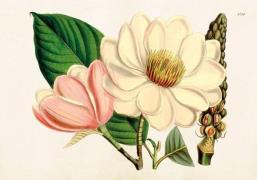Plakat Magnolia 50x35 cm
