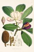 Plakat Magnolia 18x24 cm