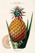 Plakat Ananas 35x50 cm