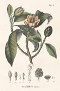 Plakat Magnolia 70x100 cm